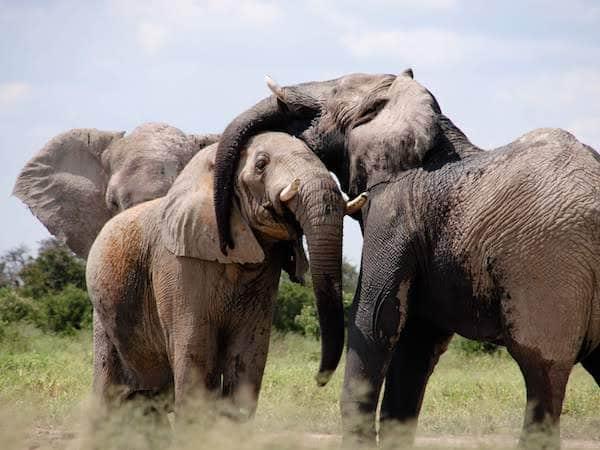 Elephants hugging
