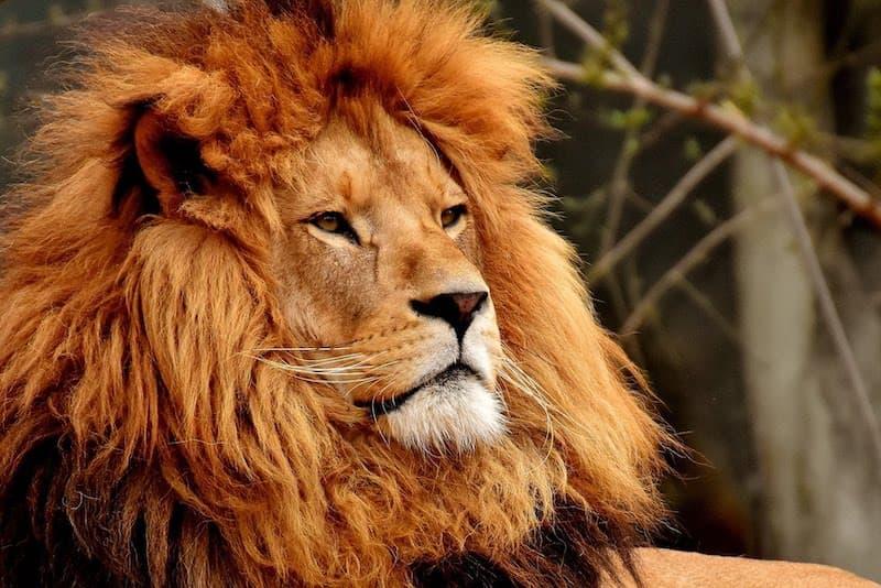 Big maned lion