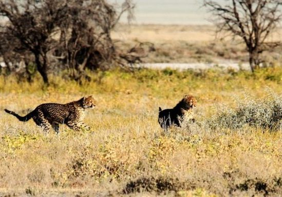 A pair of cheetah running