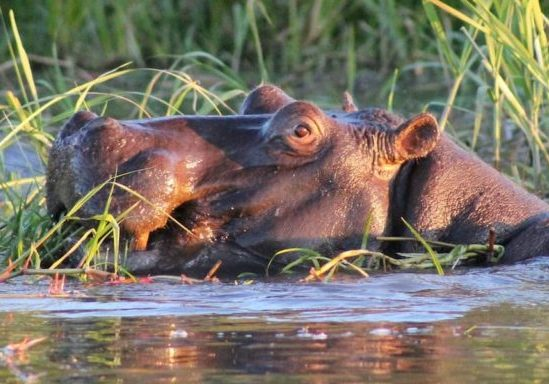 Hippo feeding on reeds