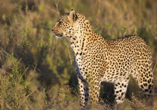 Leopard looks for prey