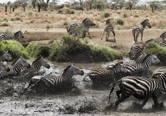 Herd of zebra galloping across river